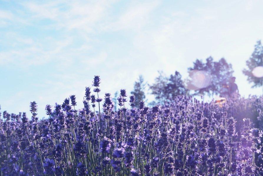 Lavender At Furano